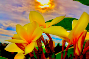 plumeria flowers against a tropical sky